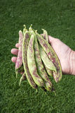 Fresh Borlotti Beans Stock Photo