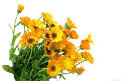 Fresh bouquet of calendula Stock Photo