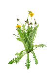 Fresh bouquet of yellow dandelion Stock Images