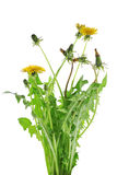 Fresh bouquet of yellow dandelion Stock Photography