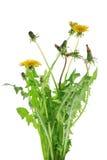 Fresh bouquet of yellow dandelion Stock Photography