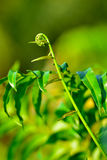 Fresh bracken fern. Close up of fresh bracken fern (Pteridium aquilinum) - Pucuk Paku. selective focus Stock Photos