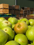 Fresh Bramley apples Stock Photo
