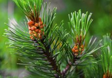 Fresh branch of fir tree with fir cones. Closeup Royalty Free Stock Photos