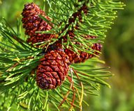 Fresh branch of fir tree with fir cones. Closeup Royalty Free Stock Photography