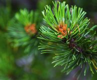Fresh branch of fir tree with fir cones. Closeup Stock Photography