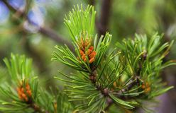 Fresh branch of fir tree with fir cones. Closeup Stock Photo