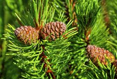 Fresh branch of fir tree with fir cones. Closeup Royalty Free Stock Image