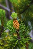 Fresh branch of fir tree with fir cones. Closeup Stock Photos