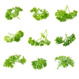 Fresh branch of green parsley natural food isolated on white bac Stock Image