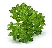 Fresh branch of green parsley Royalty Free Stock Photo
