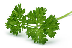 Fresh branch of green parsley Stock Images