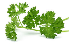 Fresh branch of green parsley Royalty Free Stock Photos