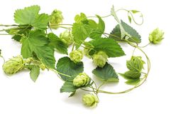 Fresh branch of hops. On a white background stock image