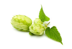 Fresh branch of hops isolated. Royalty Free Stock Image