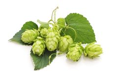 Fresh branch of hops. Fresh branch of hops on a white background royalty free stock photo