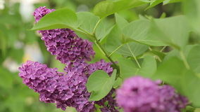Fresh Branch of Lilac stock video