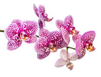 Fresh branch of lilac spotty orchid is isolated Royalty Free Stock Photos