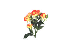 Fresh branch of red roses on white background stock images
