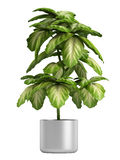 Fresh branchy home plant Royalty Free Stock Image
