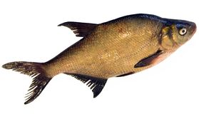 Fresh bream Stock Photo