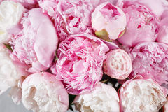 fresh bright blooming peonies flowers with dew drops on petals. white and pink bud Royalty Free Stock Images