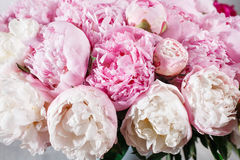 fresh bright blooming peonies flowers with dew drops on petals. white and pink bud Royalty Free Stock Image