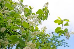 Fresh, bright, blossoming bird cherry against the sky. stock image