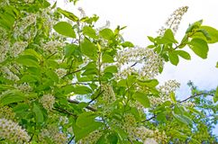 Fresh, bright, blossoming bird cherry against the sky. royalty free stock photography