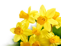 Fresh bright daffodils isolated on white Royalty Free Stock Image