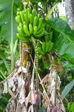 Fresh bright green bananas growing on Puerto Rican farm, healthy banana tree with full crop royalty free stock photos