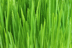 Fresh bright green grass Royalty Free Stock Image