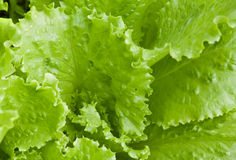 Fresh bright green lettuce leaves Royalty Free Stock Images