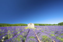 Fresh and bright Lavender field in the Provence Royalty Free Stock Image