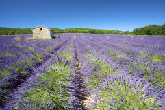 Fresh and bright Lavender fields Stock Images