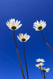 Fresh and bright ox-eye daisy. With a blue sky in summer stock images