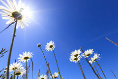 Fresh and bright ox-eye daisy in summer Stock Image