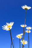 Fresh and bright ox-eye daisy in summer Stock Photos