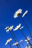 Fresh and bright ox-eye daisy in summer Royalty Free Stock Image