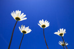 Fresh and bright ox-eye daisy in summer Stock Photo