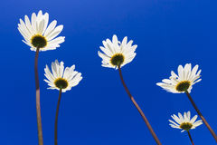 Fresh and bright ox-eye daisy in summer Stock Images