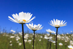 Fresh and bright ox-eye daisy in summer Royalty Free Stock Photography