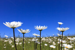 Fresh and bright ox-eye daisy in summer. Fresh and bright ox-eye daisy with a blue sky in summer royalty free stock photos