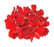 Bright red geranium. Fresh bright red geranium isolated over white background Royalty Free Stock Photography