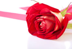 Fresh and bright rose flower Royalty Free Stock Photography