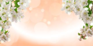 Fresh bright spring background design with apple blossom flowers and leaves stock photo