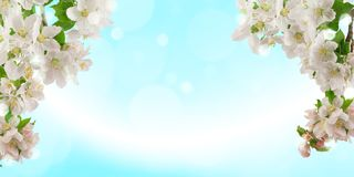 Fresh bright spring background design with apple blossom flowers and leaves royalty free stock photography