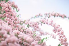 Fresh bright spring background design with cherry blossom flowers and leaves royalty free stock images