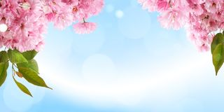 Fresh bright spring background design with cherry blossom flowers and leaves royalty free stock photo