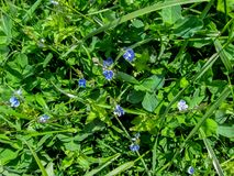 Herbaceous background of meadow grass and small delicate blue flowers of the germander speedwell. Fresh bright spring texture of green leaves of clover, couch Royalty Free Stock Photo